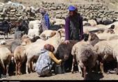 خرید تضمینی دام زنده از عشایر آذربایجانغربی در دستور کار قرار گرفت