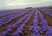اقدام عجیب تعاون روستایی در سال جهش تولید/ عرضه یک تن زعفران انباری همزمان با فروش محصول جدید کشاورزان