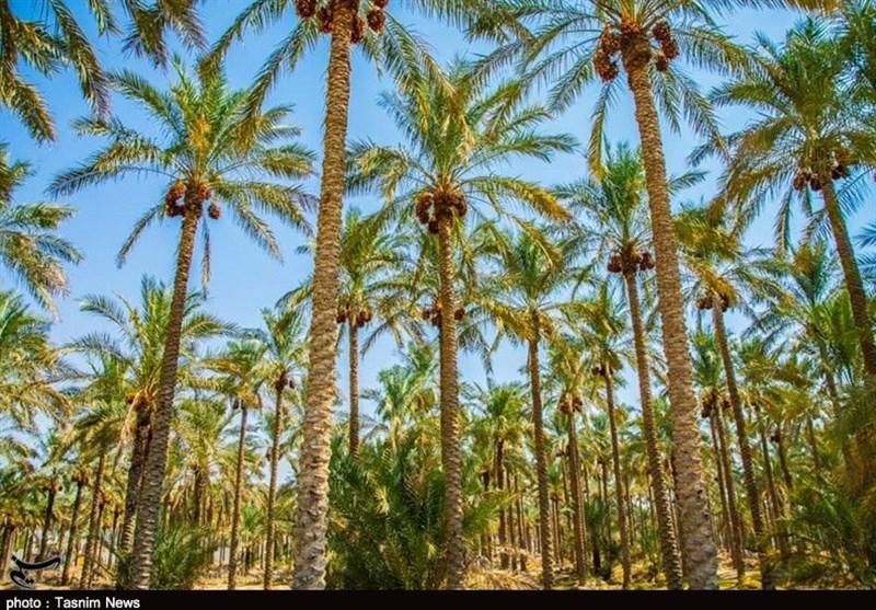 116 هزار تن محصول نخیلات استان بوشهر برداشت شد