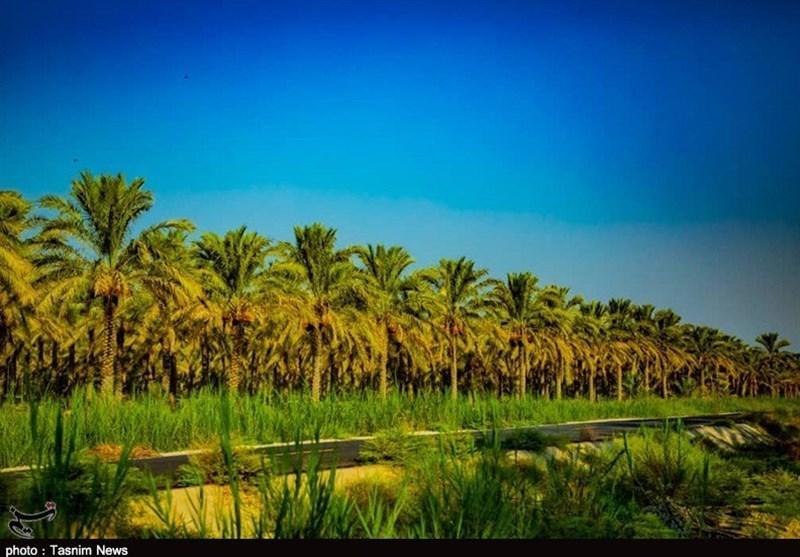 110هزار تن خرما از نخلستانهای استان بوشهر برداشت میشود+تصاویر