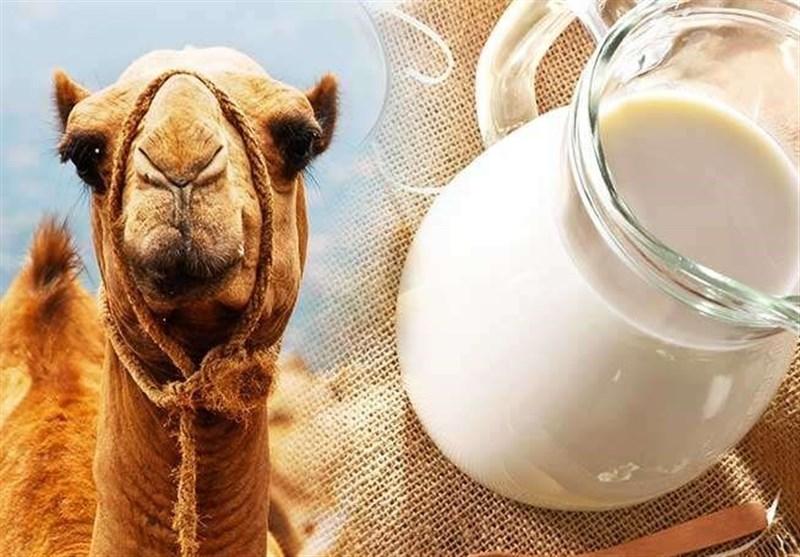 """دیابت خود را با مصرف """"شیر شتر"""" کنترل و درمان کنید! + خواص درمانی"""