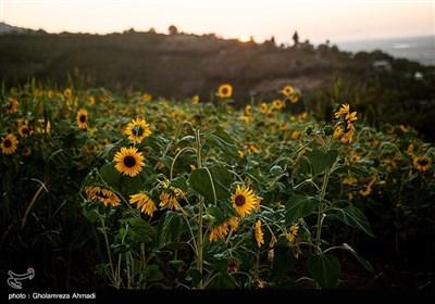 مزارع آفتابگردان بهشهر