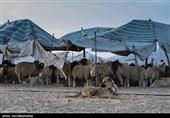 کرمانشاه| قیمت ارزان دام زنده معیشت عشایر را با مشکل مواجه کرده است