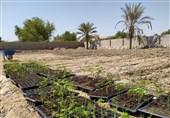 مورینگا، درختی برای جلوگیری از فرسایش خاک قشم که ارزش افزوده به ساکنان هدیه میدهد