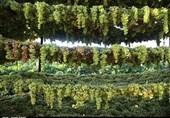 فرآوری انگور به روش داربستی در تاکستان استان قزوین به روایت تصویر
