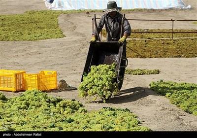 برداشت انگور و استحصال کشمش در تاکستانهای ملایر
