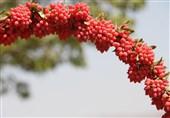 170 تن زرشک از کشاورزان خراسان جنوبی خریداری شد