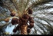 افزایش صادرات خرمای استان بوشهر/ قیمت هر کیلوگرم خرما در نخلستان 9 هزار تومان تعیین شد