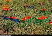 رکوردشکنی قیمت گوجه فرنگی در یزد / قیمت در مراکز عرضه به 10 هزار و 400 تومان رسید