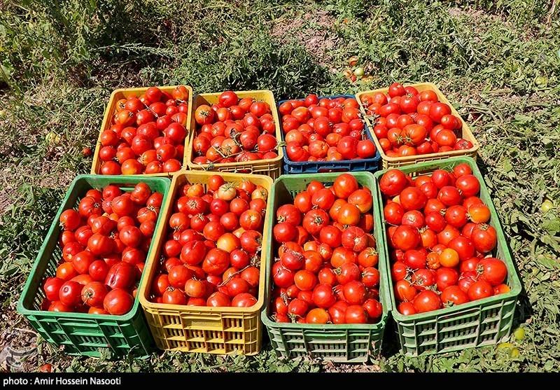 صادرات 14 هزار تن گوجه فرنگی طی 11روز به کردستان عراق/ ماجرای افت شدید قیمتها در مرز