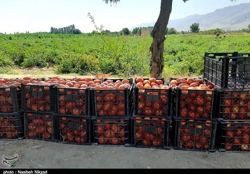 70هزار تن گوجهفرنگی خارج از فصل استان بوشهر وارد بازار میشود