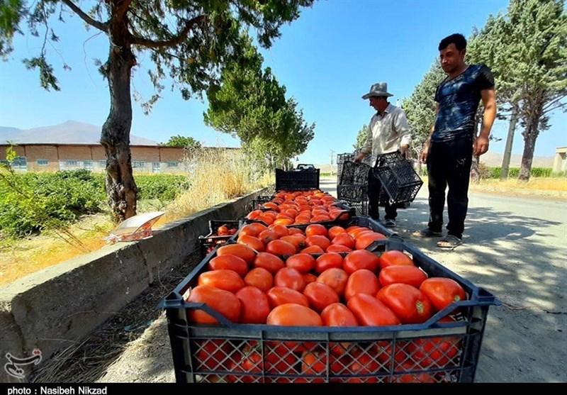 بیش از 200 هزار تن گوجهفرنگی استان بوشهر، بهمن ماه وارد بازار میشود