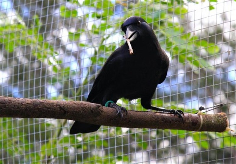 Crows Capable of Conscious Thought: Scientists