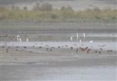 تالابهای استان اردبیل میزبان دهها هزار بال از پرندگان مهاجر