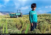"""""""وضعیت سخت معیشتی"""" کشاورزان گیلانی را به """"زمینفروشی"""" کشانده است"""