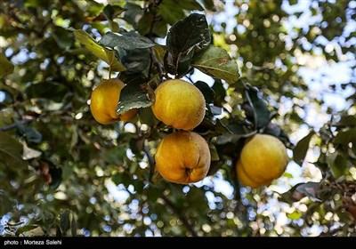 برداشت به از باغات سهروفیروزان -اصفهان