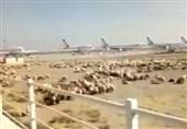 اطلاعیه دامپزشکی: گوسفندهایی که در فرودگاه امام چریدند ترکیهای بودند