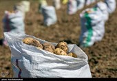 برداشت 31500 تن سیب زمینی در اصفهان / سازمان تعاون روستایی چه برنامهای برای خرید دارد؟