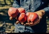 یک میلیون و 300 هزار تن سیب برای شب عید ذخیره میشود