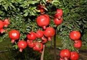 انار سرخ کویر مسافر روسیه / دسترنج یک ساله باغداران خراسان جنوبی به بار نشست