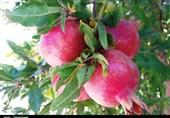 گزارش| سایه سنگین دلالان بر بازار انار بادرود / باغداران از حضور دلالان گله دارند