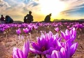 صدای پای دلالان در قطب تولید زعفران شنیده میشود/ کشاورزان خواستار حمایت هستند