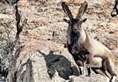 """واکنش محیط زیست به اتلاف یک رأس """"کَل"""" در منطقه کویری آران و بیدگل / افراد خاطی شناسایی شدند"""
