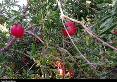 70 درصد «یاقوت سرخ» اردستان به دلیل کمبود صنایع تبدیلی ارزان فروخته میشود/ جولان دلالها در باغات انار