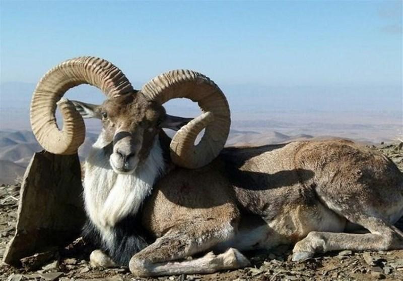 تصاویری دیدنی از قوچهای اوریال در پارک ملی گلستان + فیلم