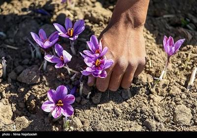 برداشت زعفران از مزارع تربت حیدریه