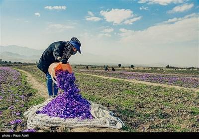 برداشت طلای سرخ - آذربایجان شرقی