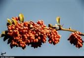 یاقوت سرخی که برای کشاورزان استان خراسان جنوبی سودآور نیست؛ اما جیب دلالها را پرمیکند