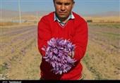 برداشت زعفران از مزارع استان خراسان شمالی به روایت تصاویر