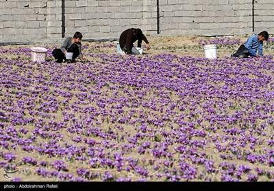 برداشت زعفران از مزارع استان همدان