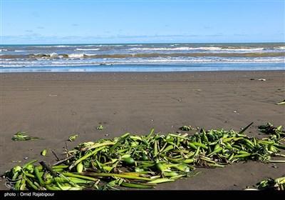 ساحل کلاچای گیلان در محاصره گیاه مهاجم سنبل آبی