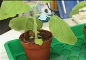 Flu Vaccine Derived from Tobacco Plants Passes Clinical Trials