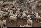 ادامه روند افزایش قیمت گوشت قرمز در کرمانشاه/ دستور دادستان برای بستن همه خروجیهای قاچاق دام