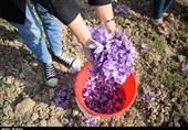 برداشت زعفران در شهرضا به روایت تصویر
