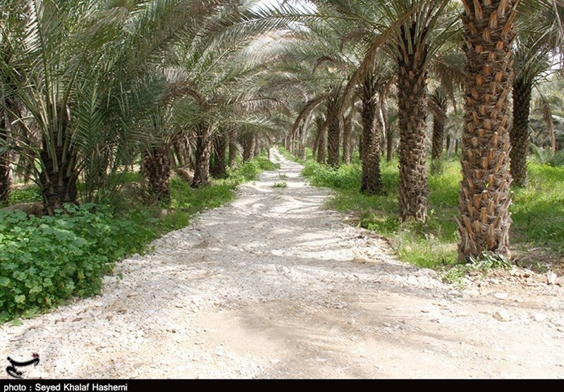دومین تولیدکننده خرما کشور در آستانه نابودی / 7 هزار هکتار از نخلستانهای خوزستان به آفت چوب خوار دچار شدند
