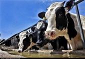 گزارش تسنیم نتیجه داد؛ اخطار جهاد کشاورزی به گاوداری ماهدشت/ مشقتهای مردم منطقه با انتقال گاوداری پایان مییابد