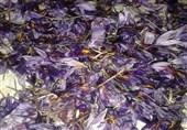 سرما و داغ خسارت گلهای یخ زده زعفران بر دل کشاورزان خراسان جنوبی/ زعفران کاران نسبت به بیمه اراضی زعفران عجله کنند