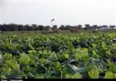 برداشت محصول خیار سبز در بخش توکهور میناب از دریچه دوربین تسنیم