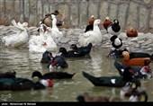 آنفلوانزای فوقحاد پرندگان در باغ پرندگان قم کاملاً کنترل شد