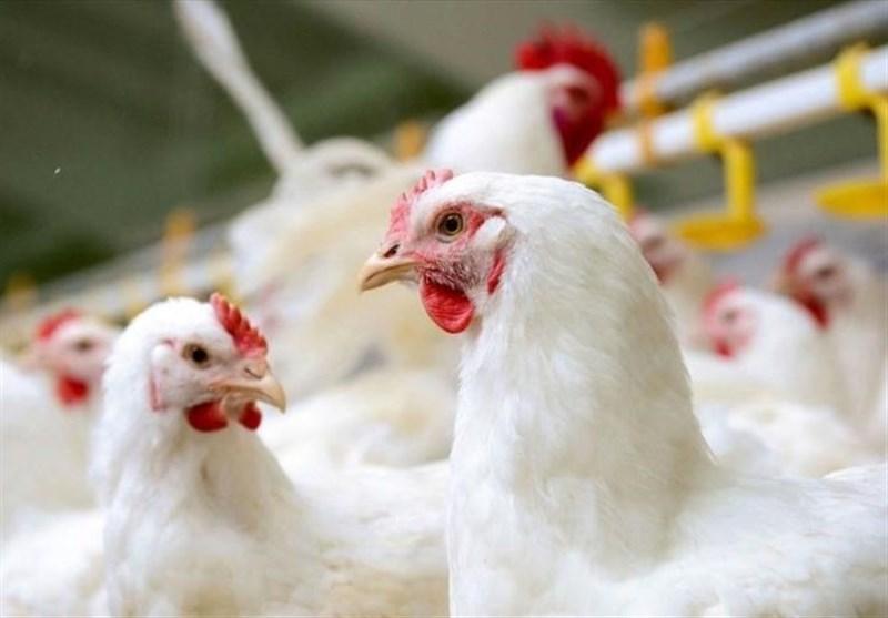 مدیرعامل پشتیبانی امور دام: قیمت مرغ تا 10 روز دیگر کاهش می یابد/ توزیع روزانه 300 هزار تن مرغ 15 تا 18.5 هزار تومانی