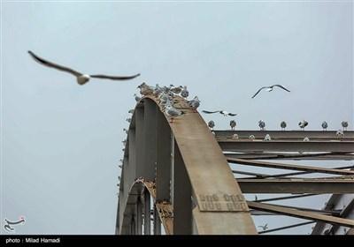 ``پل سفید اهواز میزبان پرندگان مهاجر