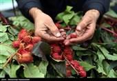 """کشف 95 کیلو ماده مخدر """"داتورا"""" از یک گلخانه در جنوب تهران + تصاویر"""