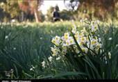 استان فارس از فروش گل نرگس 150 میلیارد تومان درآمد کسب کرد