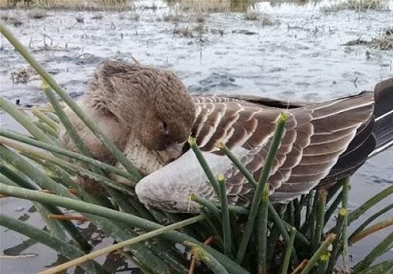 ممنوعیت تردد در اطراف تالاب میقان/دفن بهداشتی لاشه 251 پرنده