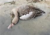 ابتلا به آنفلوآنزای فوقحاد پرندگان در واحدهای صنعتی اردبیل گزارش نشده است/ لزوم احتیاط فعالان صنعت طیور