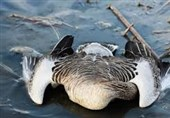 بروز اولین نشانههای آنفلوآنزای حاد پرندگان در تالاب میقان + فیلم و عکس